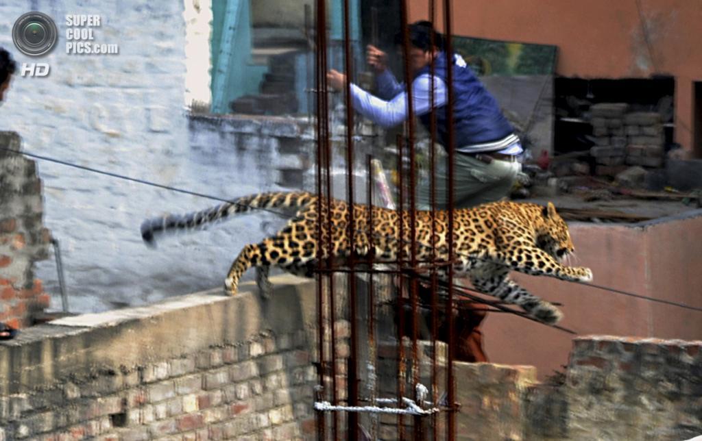 Индия. Мератх, Уттар-Прадеш. 23 февраля. Мужчина уворачивается от леопарда, который забрёл в город. (AP Photo)