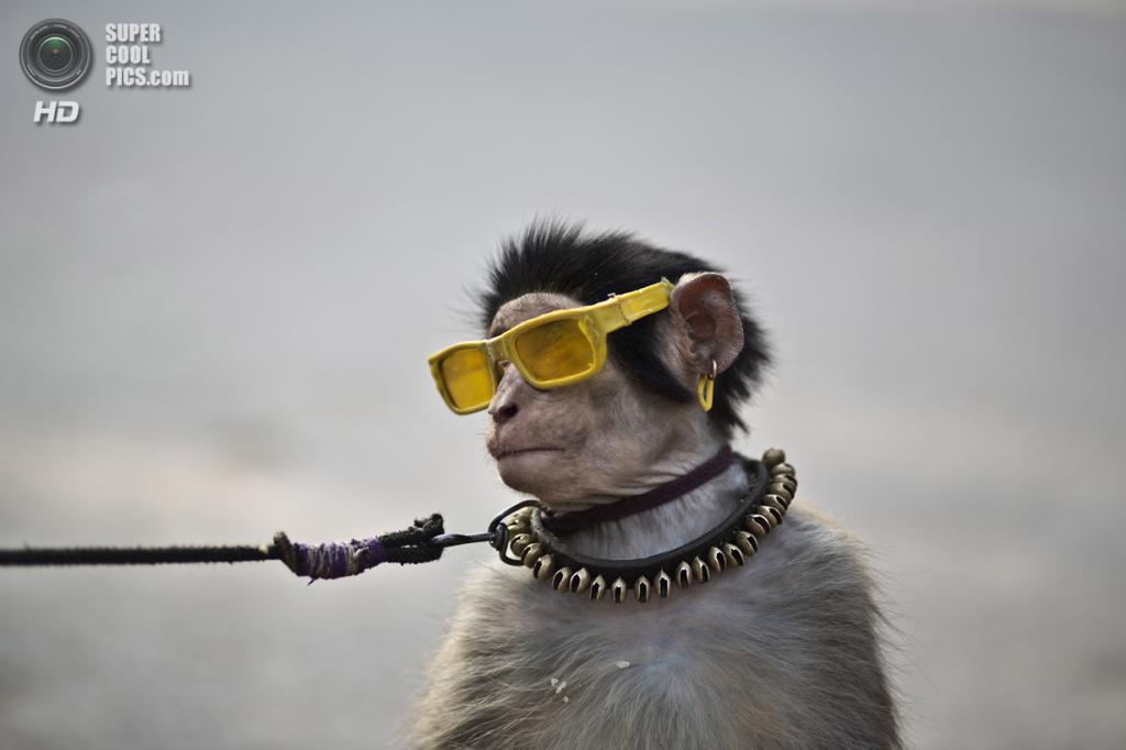 Пакистан. Исламабад. 31 января. Тренированная обезьянка на поводке. (AP Photo/Muhammed Muheisen)
