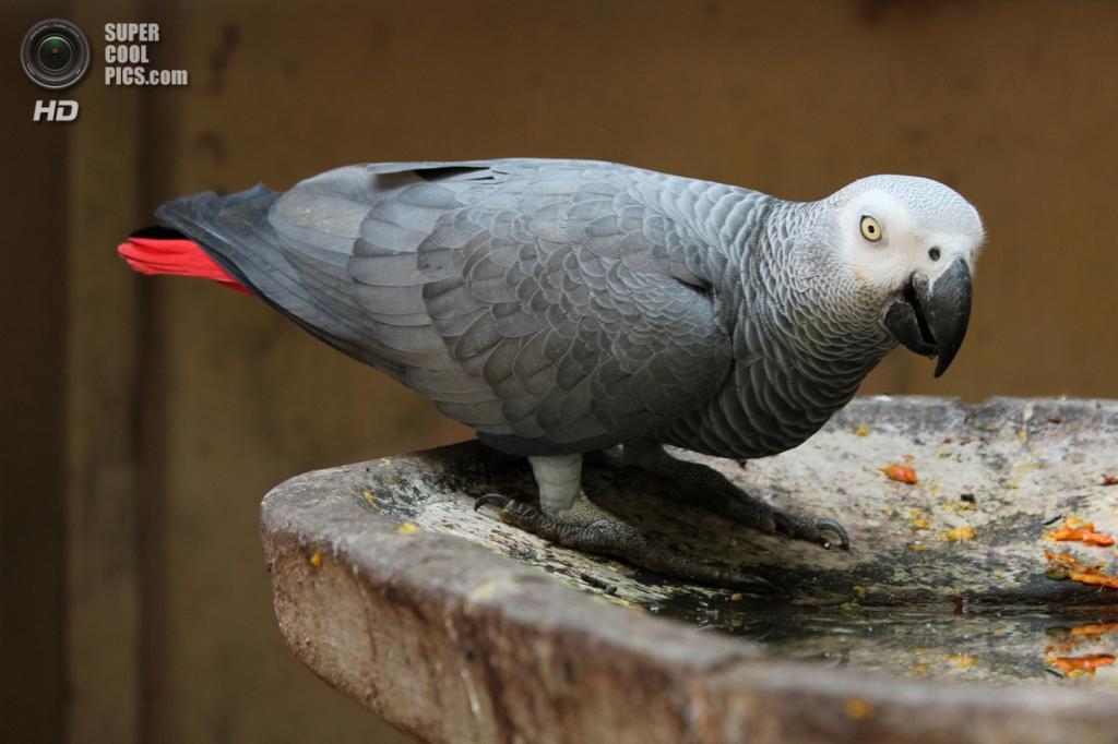 Жако, или серый попугай. (Tahira Rifath)