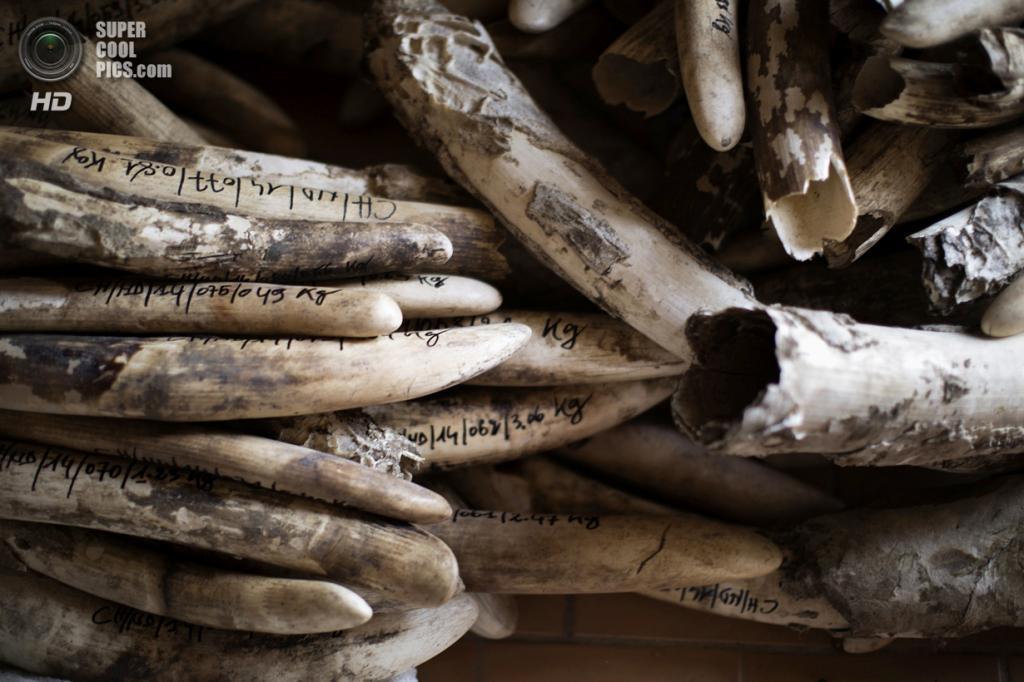 Чад. Гоз-Джарат, Саламат. 20 февраля. Кипа конфискованной слоновой кости во время каталогизации. (MARCO LONGARI/AFP/Getty Images)