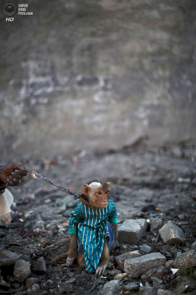 Пакистан. Равалпинди, Пенджаб. 17 февраля. Тренированная обезьянка на поводке. (AP Photo/Muhammed Muheisen)