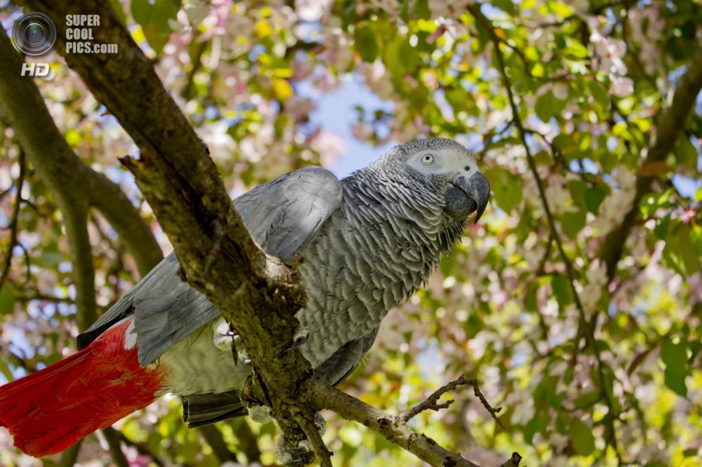 Жако, или серый попугай. (Jim MacLain)