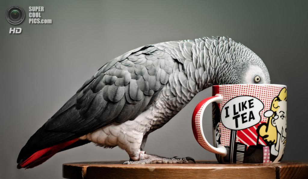 Жако, или серый попугай. (Paul Monaghan)