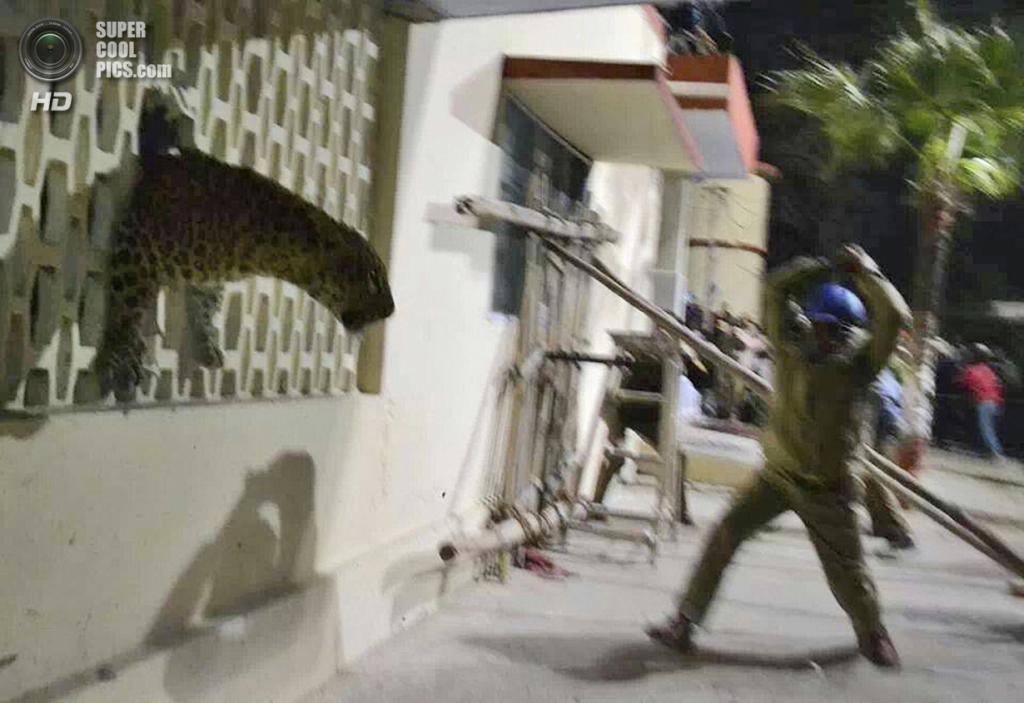 Индия. Мератх, Уттар-Прадеш. 23 февраля. Представитель Лесной службы Индии пытается усмирить животное ударом палки. (AP Photo)