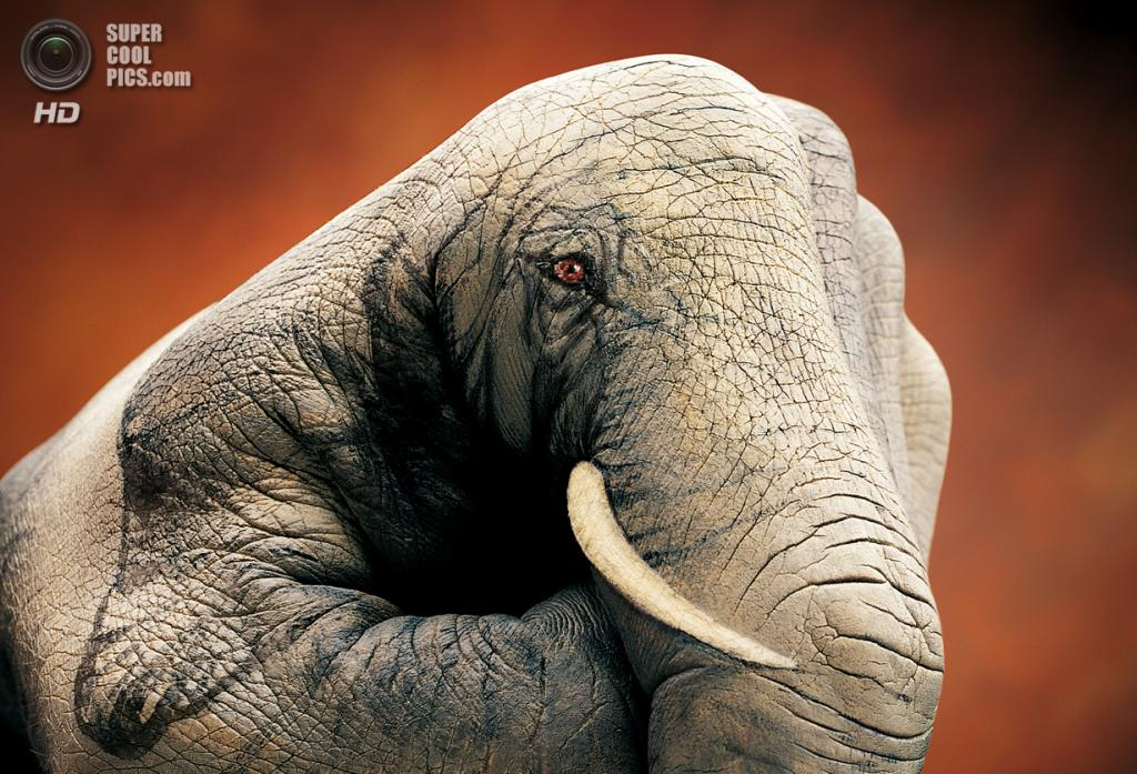 Африканский слон. (Guido Daniele)