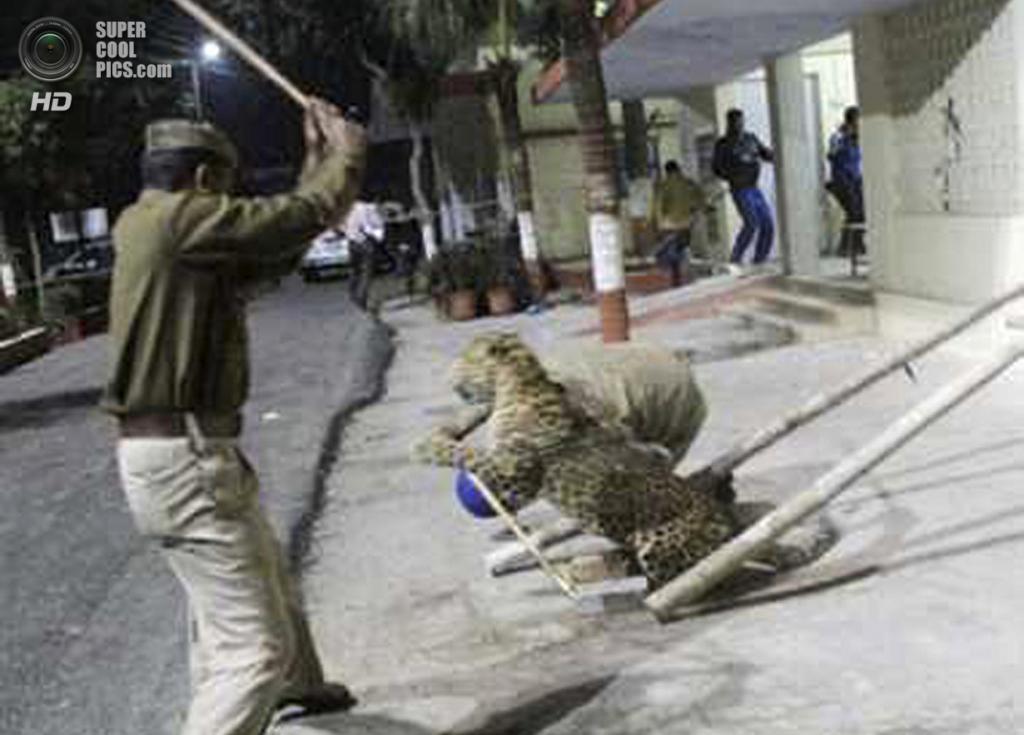 Индия. Мератх, Уттар-Прадеш. 23 февраля. Леопард атакует полицейских и представителей Лесной службы Индии. (AP Photo)