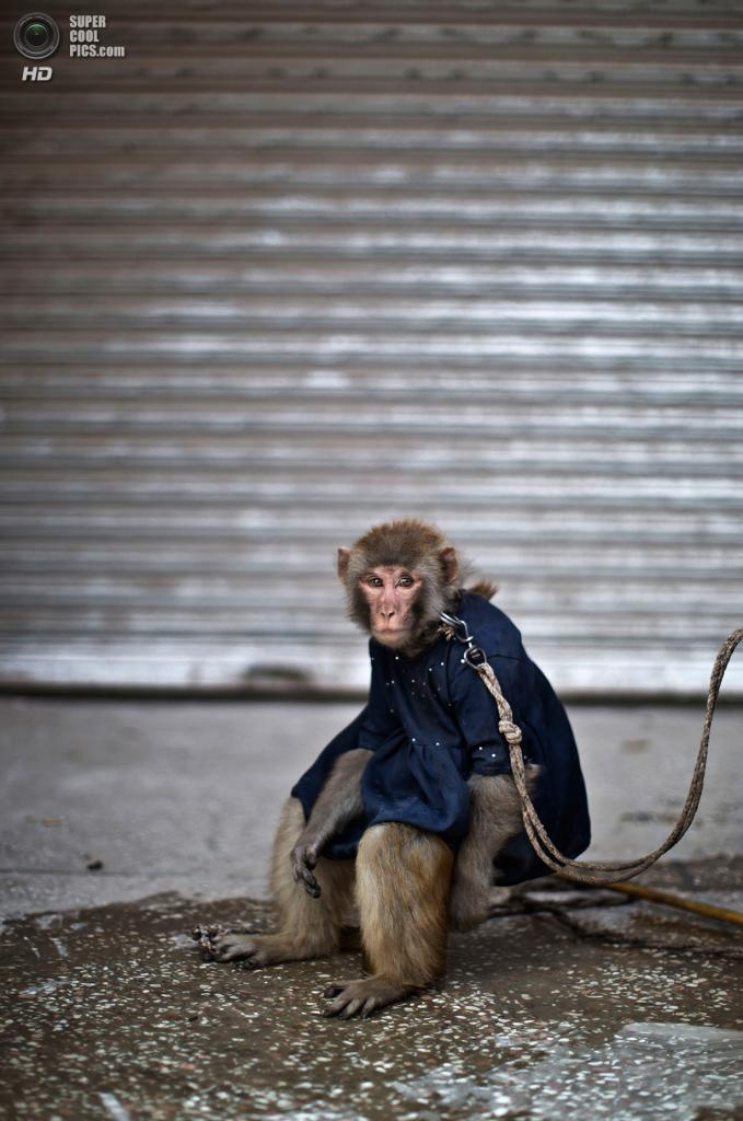 Пакистан. Равалпинди, Пенджаб. 16 февраля. Тренированная обезьянка на поводке. (AP Photo/Muhammed Muheisen)