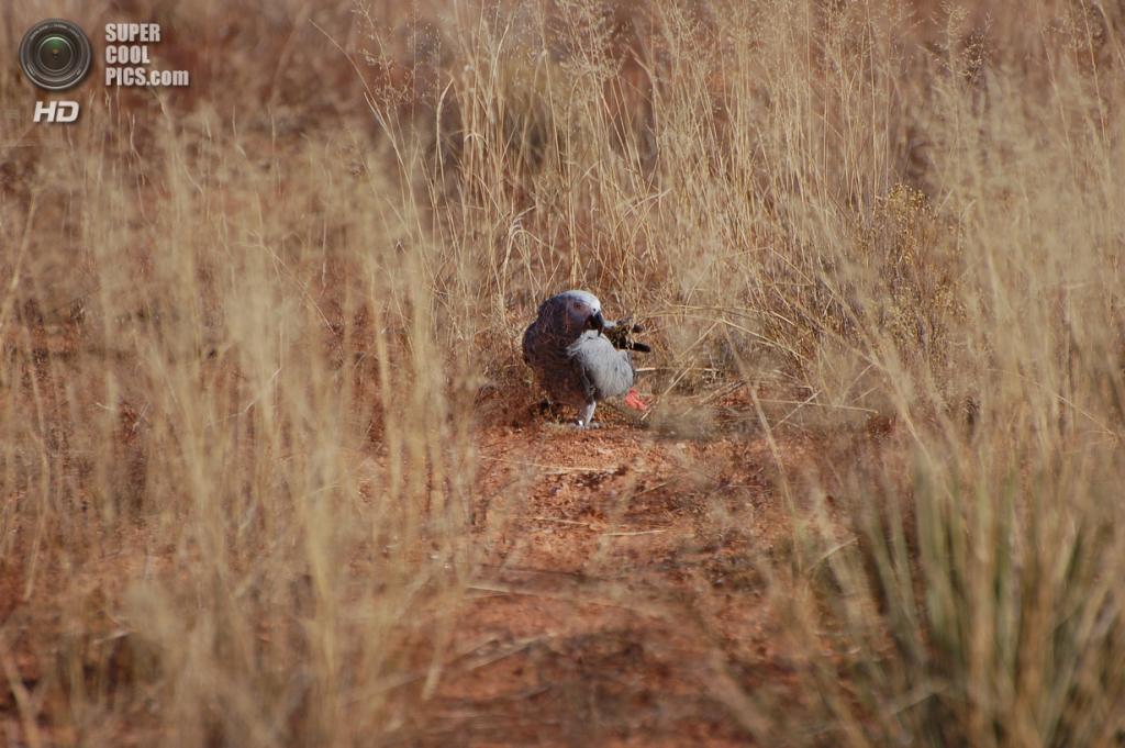 Жако, или серый попугай. (Dave Womach)