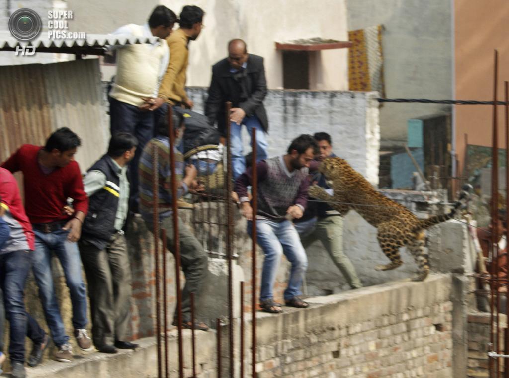 Индия. Мератх, Уттар-Прадеш. 23 февраля. Леопард кидается на людей на стройке. (REUTERS/Stringer)