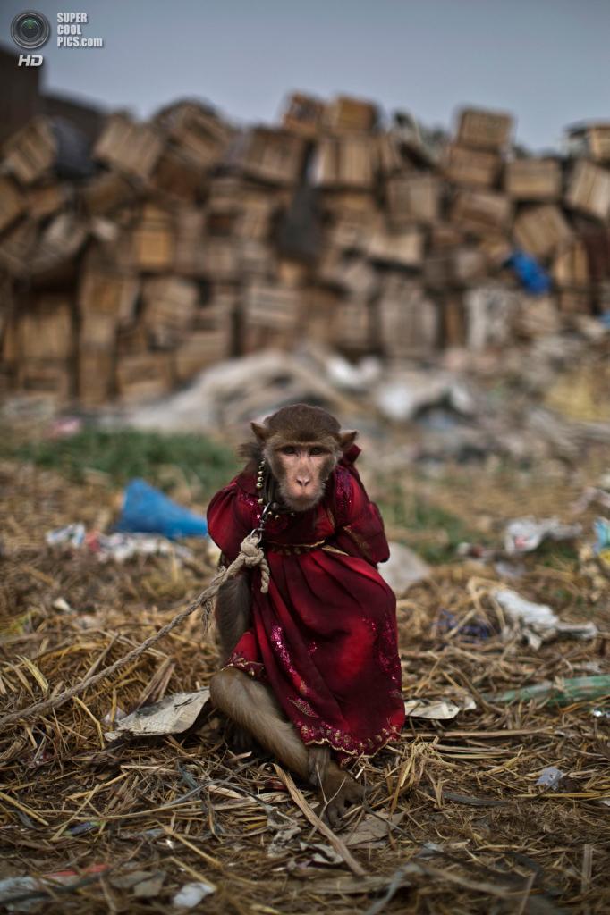 Пакистан. Равалпинди, Пенджаб. 19 февраля. Тренированная обезьянка на поводке. (AP Photo/Muhammed Muheisen)