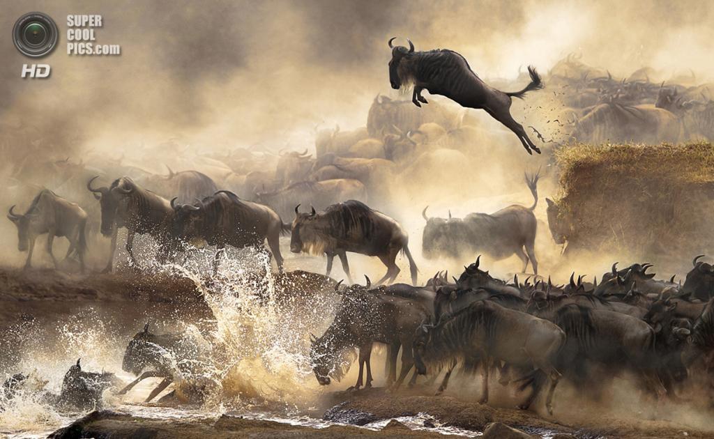 Эта волнительная сцена миграции антилоп гну повторяется здесь каждый год в июле. Место съёмки: Кения. (Bonnie Cheung/2014 Sony World Photography Awards)