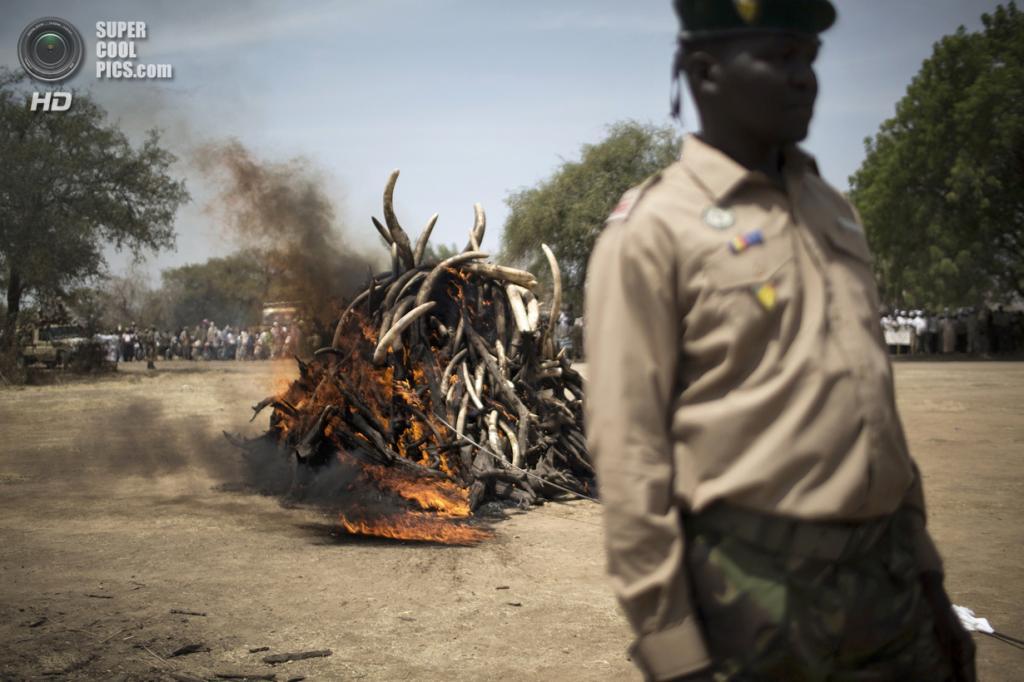 Чад. Гоз-Джарат, Саламат. 21 февраля. Сжигание более 1 000 кг слоновой кости, конфискованной у браконьеров. (MARCO LONGARI/AFP/Getty Images)