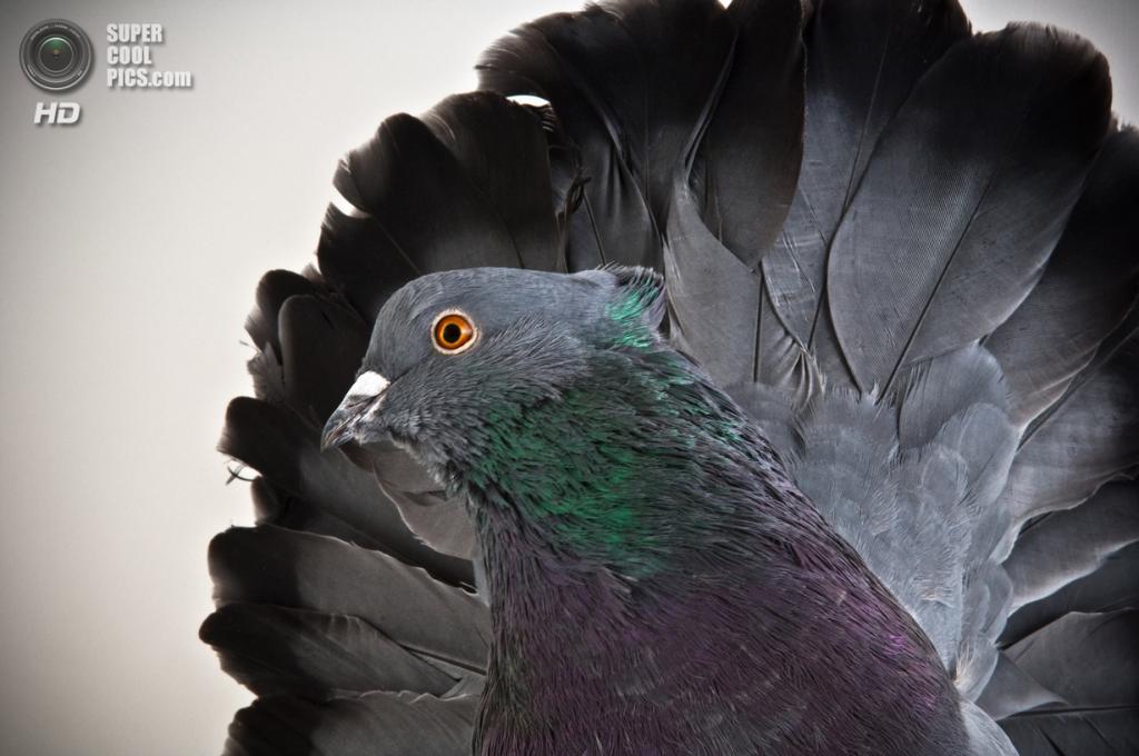 Голубь Indian Fantail. (Richard Bailey)