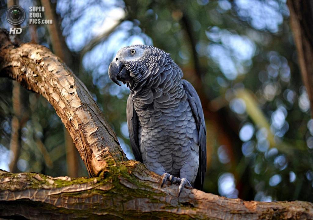 Жако, или серый попугай. (Jes Lu)