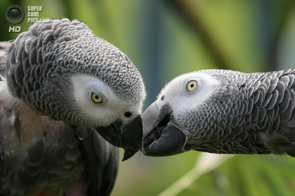 Жако, или серый попугай. (City Parrots)