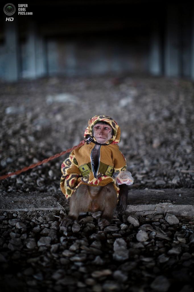 Пакистан. Исламабад. 11 февраля. Тренированная обезьянка на поводке. (AP Photo/Muhammed Muheisen)
