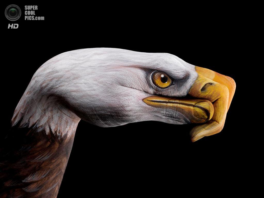 Белоголовый орлан. (Guido Daniele)