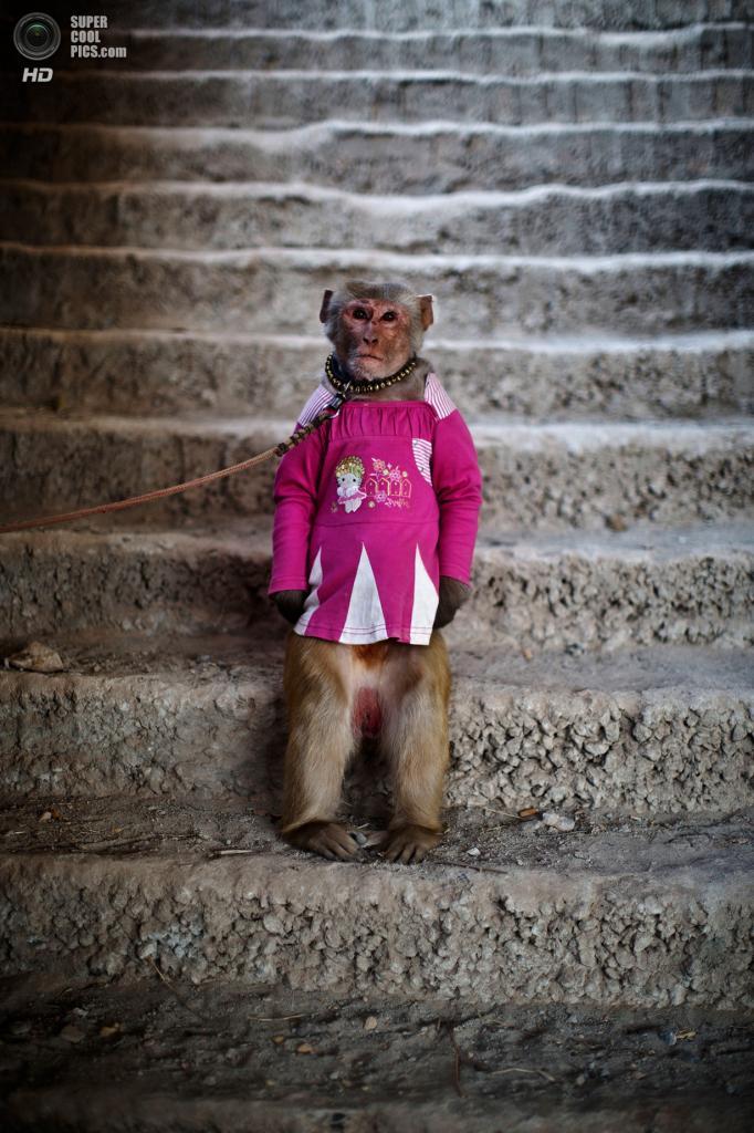 Пакистан. Исламабад. 13 февраля. Тренированная обезьянка на поводке. (AP Photo/Muhammed Muheisen)