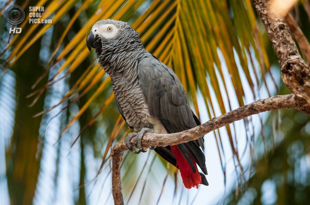 Жако, или серый попугай. (Mohamed Shareef)