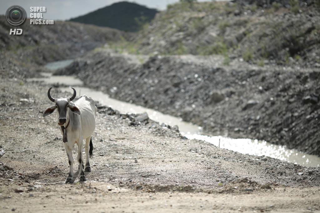Бразилия. Кустодия, Пернамбуку. 25 января. Тощая корова у недостроенного канала. (REUTERS/Ueslei Marcelino)