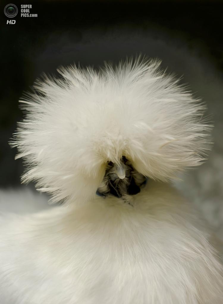 Куры породы Китайская шелковая. (Louay Henry)