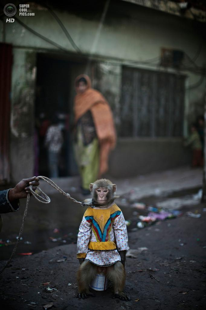 Пакистан. Равалпинди, Пенджаб. 12 февраля. Тренированная обезьянка на поводке. (AP Photo/Muhammed Muheisen)
