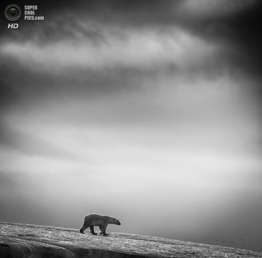 Белый медведь. Место съёмки: Норвегия. Шпицберген. (Wilfred Berthelsen/2014 Sony World Photography Awards)