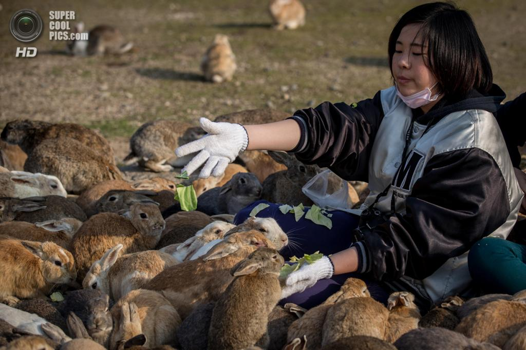 Япония. Такехара, Хиросима. 24 февраля. На острове Окуносима, где живёт множество диких кроликов. (Chris McGrath/Getty Images)