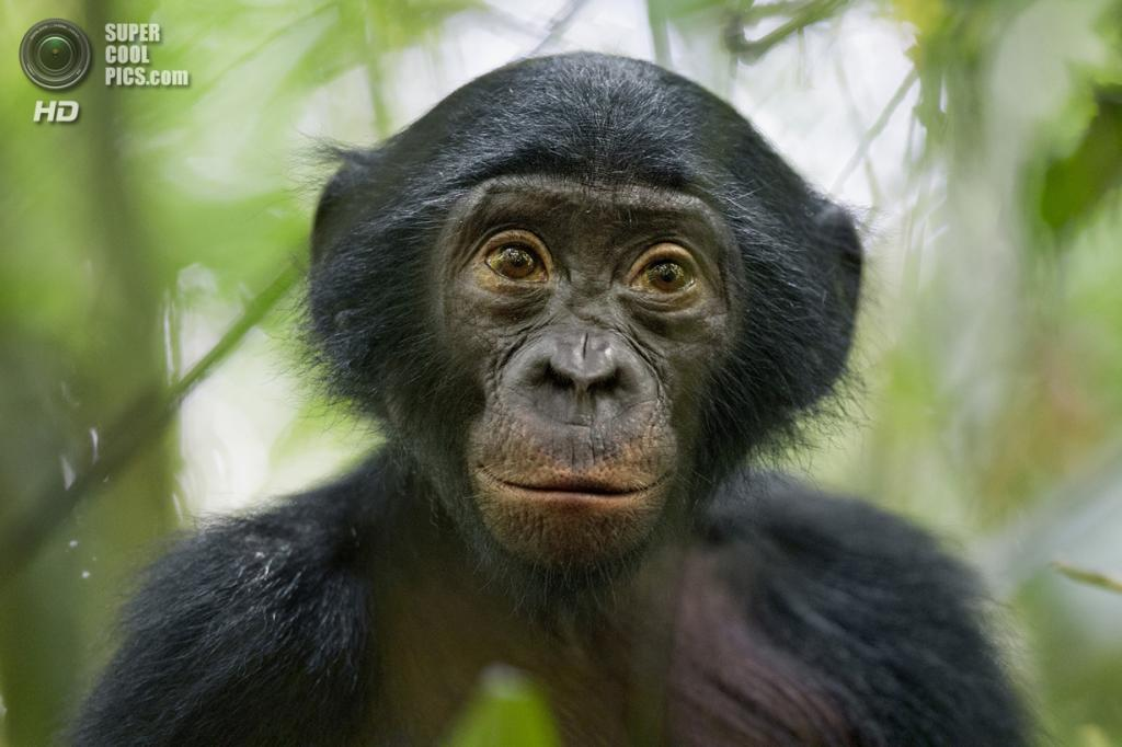 Nature Stories, 2-ое место: Демократическая Республика Конго. Коколопори, Чуапа. 7 февраля 2011 года. Любопытный пятилетний бонобо. (AP Photo/Christian Ziegler, National Geographic)