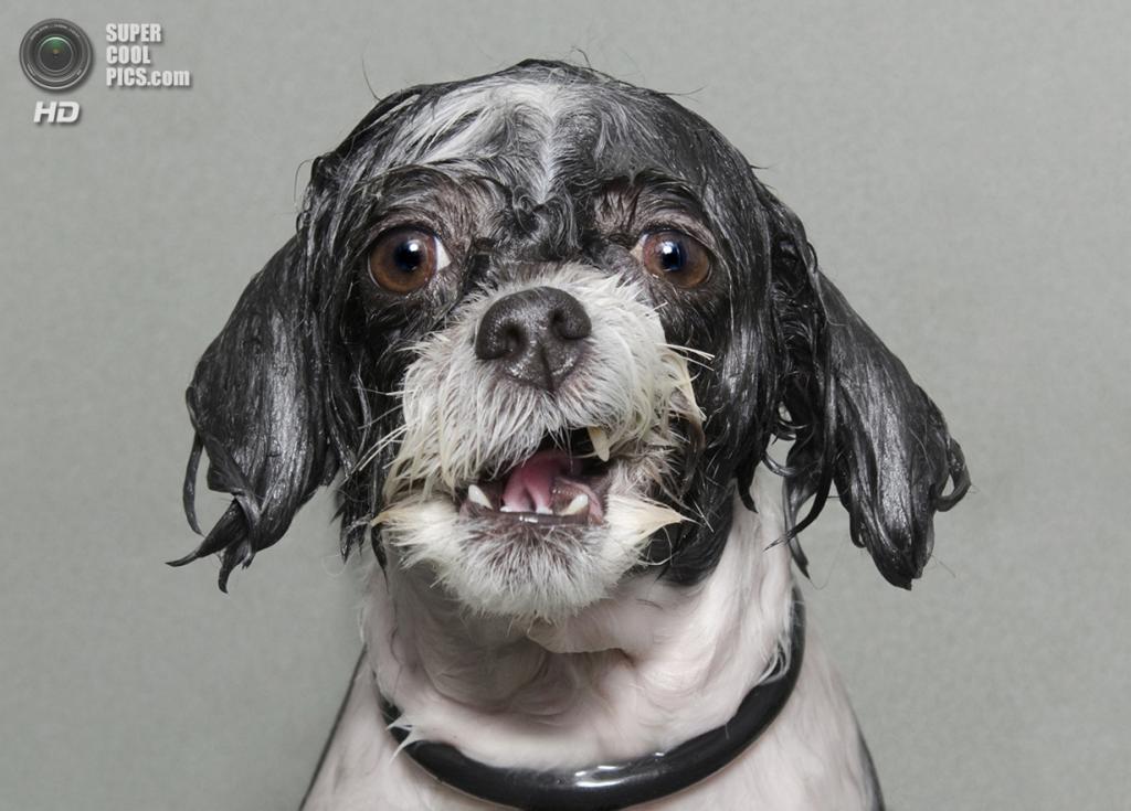 Мокрый пёс пытается не потерять остатки достоинства во время купания. (Sophie Gamand/2014 Sony World Photography Awards)