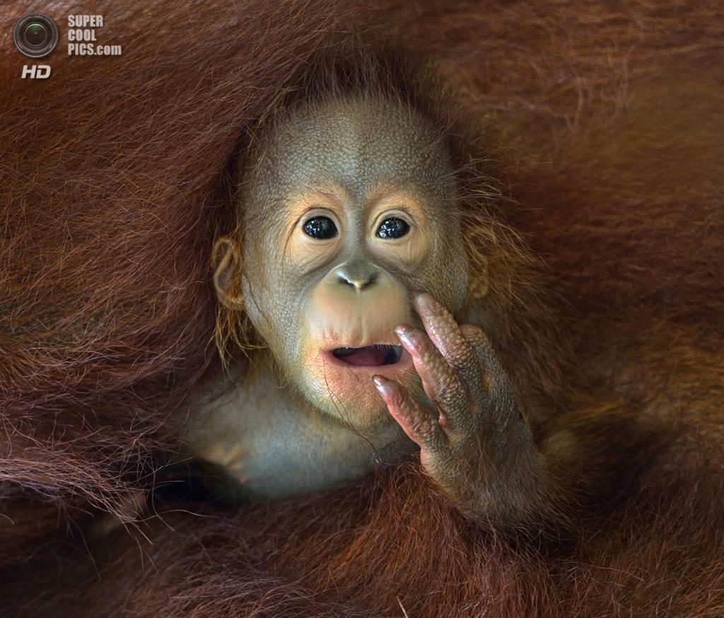 Детёныш орангутана выглядывает из объятий мамы. (Chin Boon Leng/2014 Sony World Photography Awards)