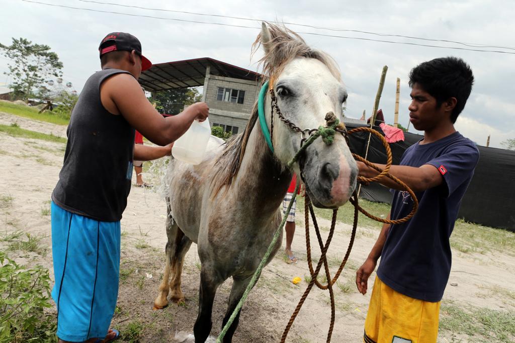Жестокий мир лошадиных боёв (24 фото)