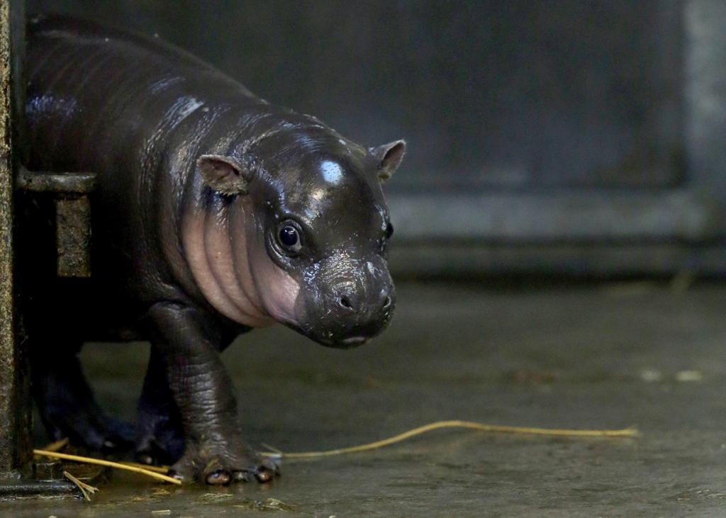 В Бристольском зоопарке появился на свет редкий карликовый бегемот (13 фото)