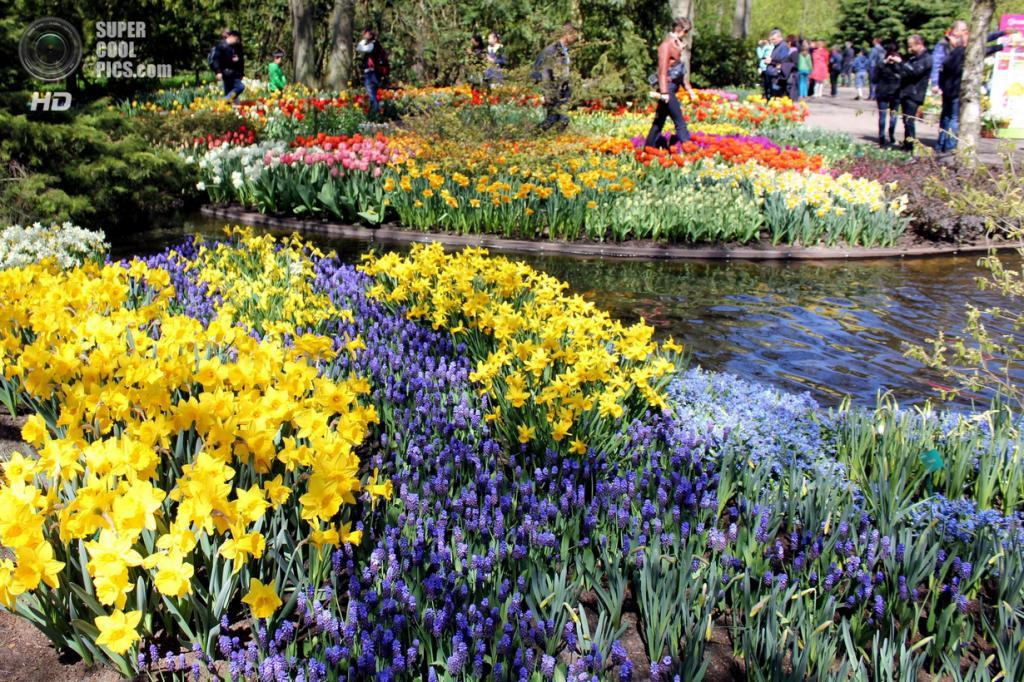 Нидерланды. Лиссе. В королевском парке цветов Кёкенхоф. (Anna Vye)