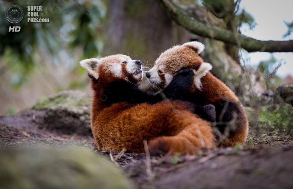Малая панда. (Frank Rønsholt)
