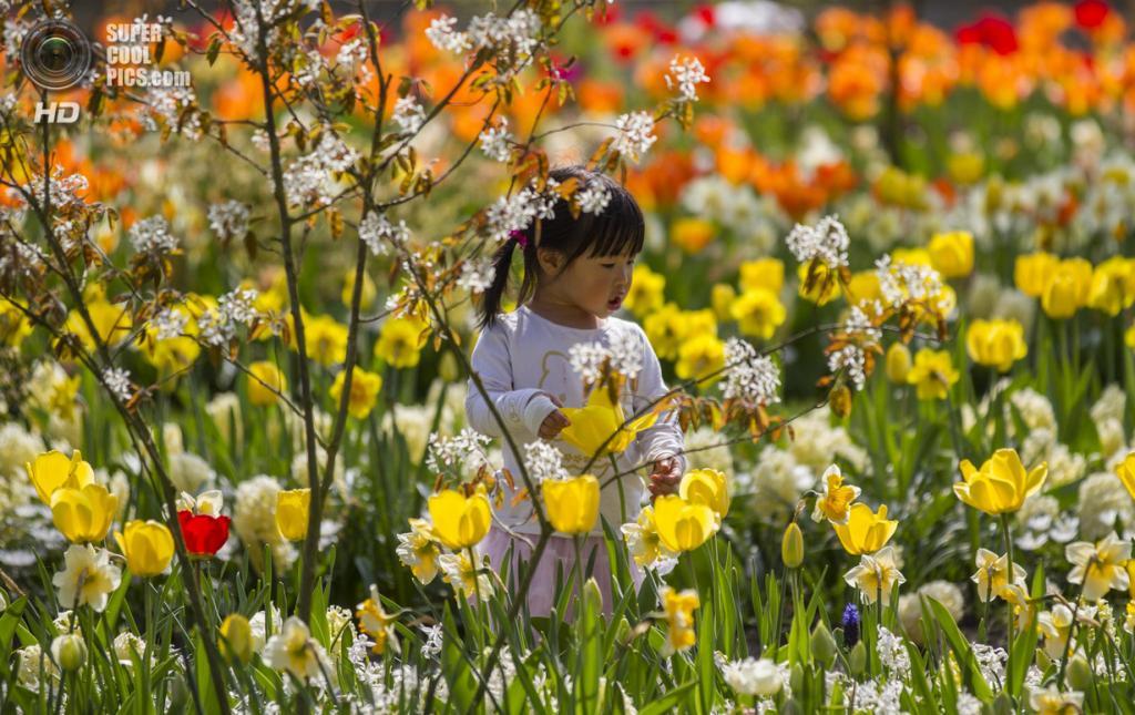 Нидерланды. Лиссе. В королевском парке цветов Кёкенхоф. (Paul Brouns)