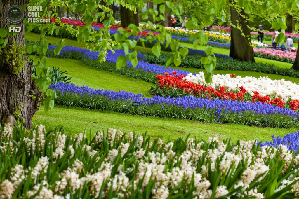 Нидерланды. Лиссе. В королевском парке цветов Кёкенхоф. (Carla Johnson)