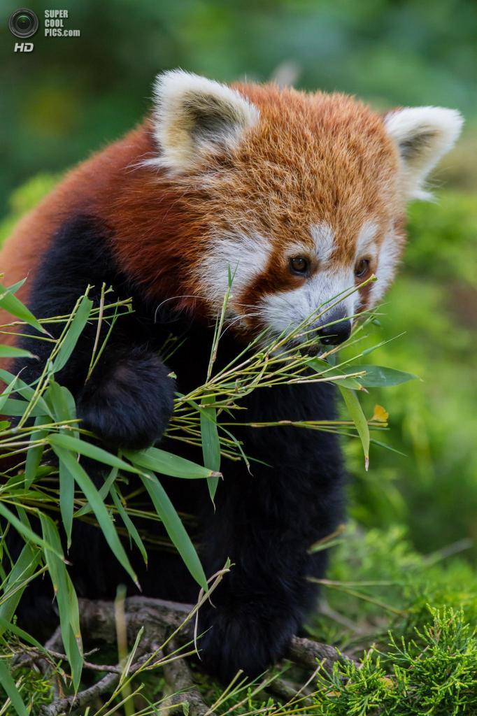 Малая панда. (pasqual)