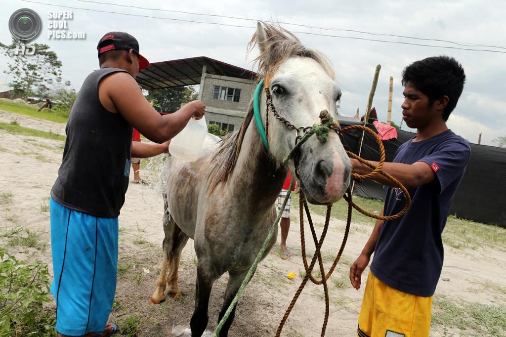 Филиппины. Тболи, Южный Котабато. 10 марта. Местные жители готовят «бойца». (Jeoffrey Maitem/Getty Images)