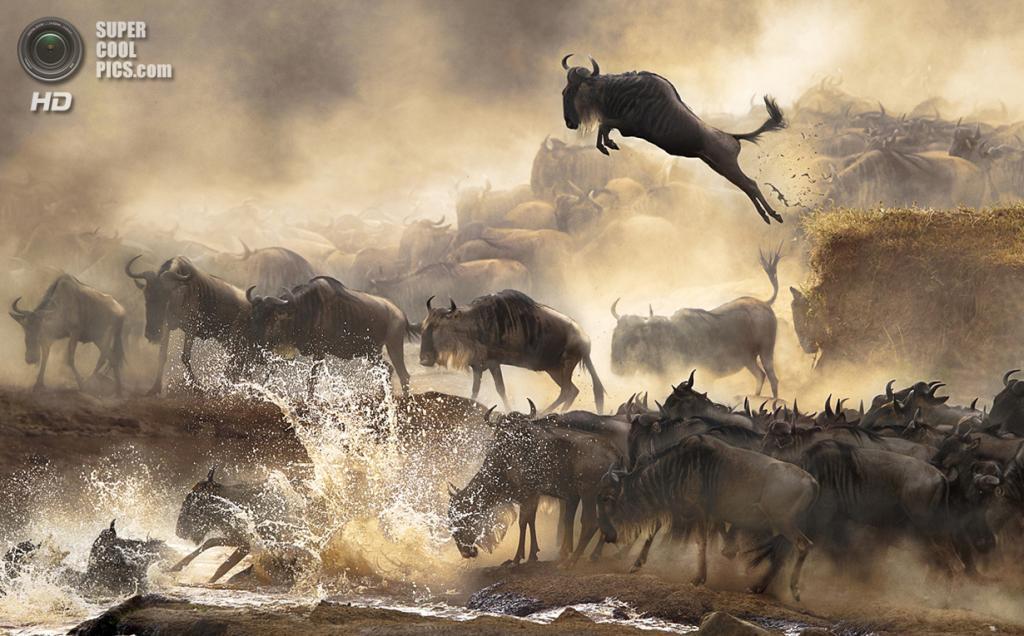 Эта волнительная сцена миграции антилоп гну повторяется здесь каждый год в июле. Место съёмки: Кения. Номинация: National Awards, Гонконг, 1 место. (Bonnie Cheung/2014 Sony World Photography Awards)