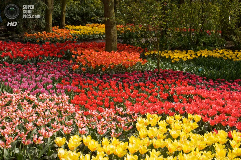 Нидерланды. Лиссе. В королевском парке цветов Кёкенхоф. (Neil Nathan)