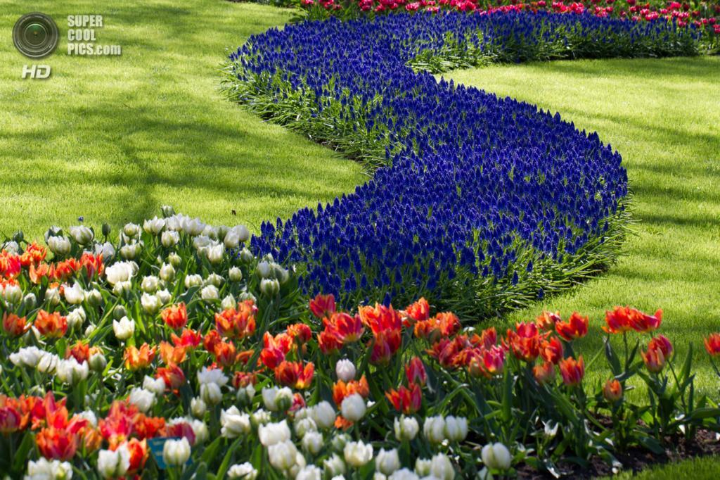 Нидерланды. Лиссе. В королевском парке цветов Кёкенхоф. (Anthony Looij)