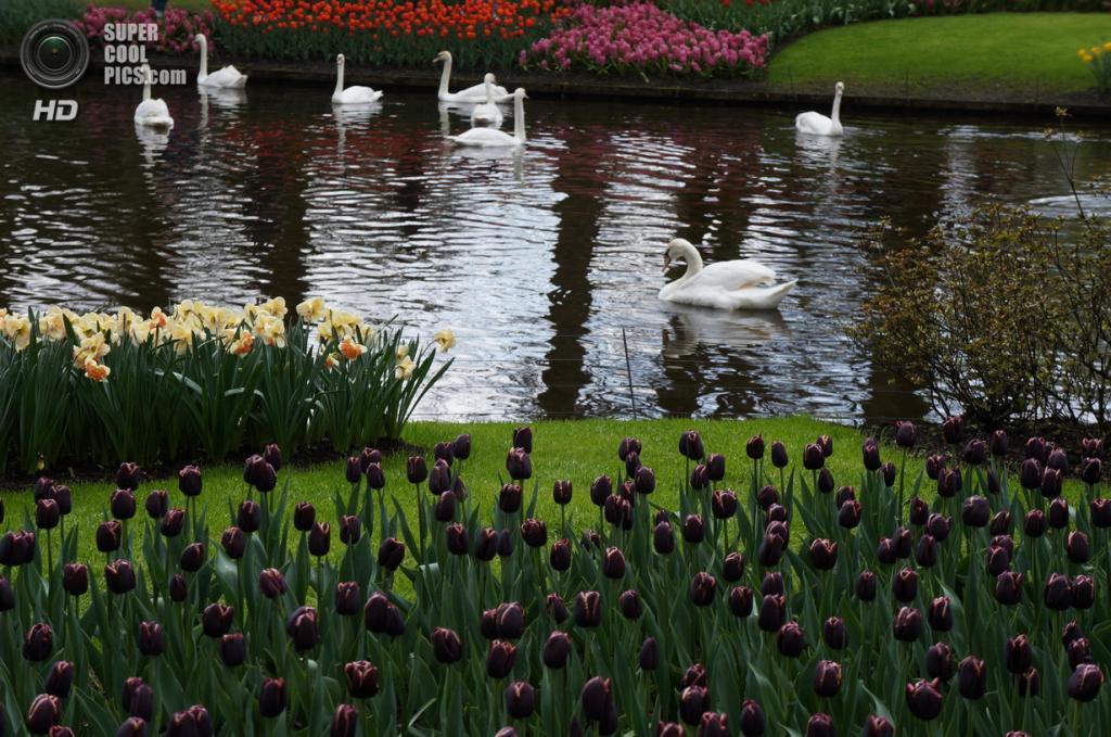 Нидерланды. Лиссе. В королевском парке цветов Кёкенхоф. (Iryna Reformator)