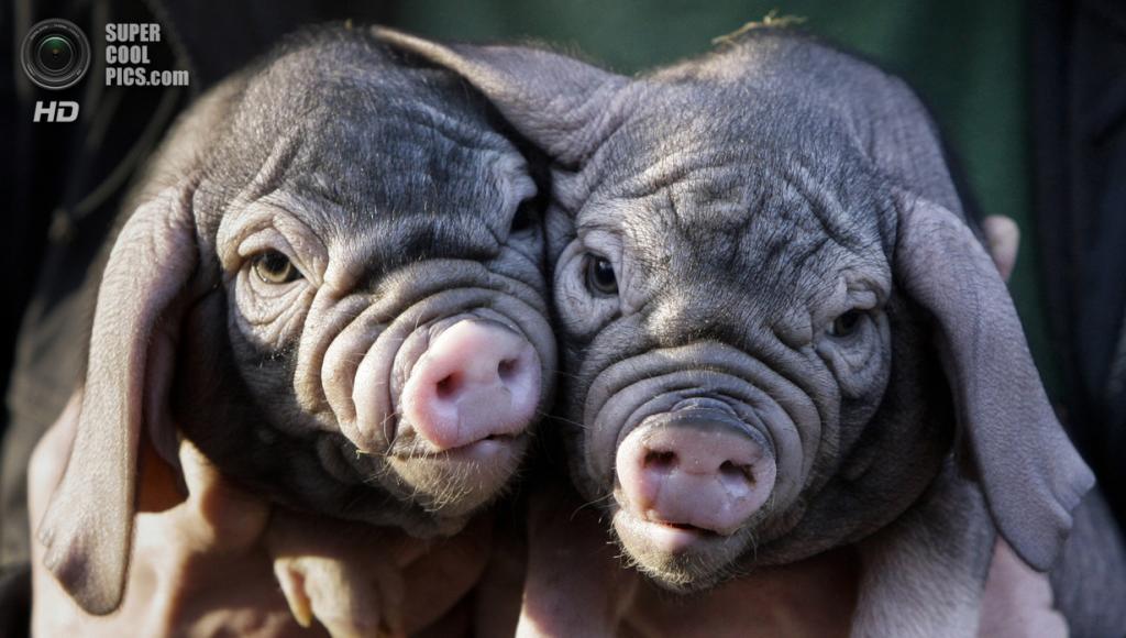 Свиньи породы мэйшань. (AP Photo/Markus Schreiber)
