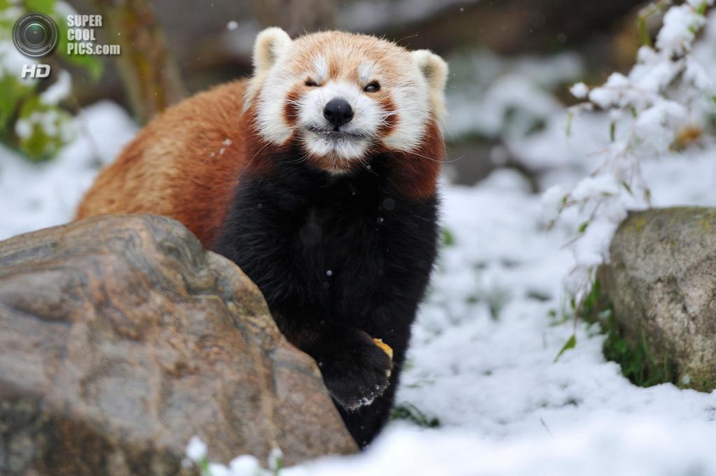 Малая панда. (Josef Gelernter)