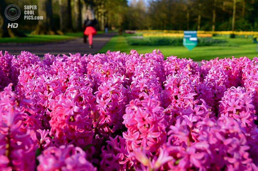 Нидерланды. Лиссе. В королевском парке цветов Кёкенхоф. (Adriano Tresin)