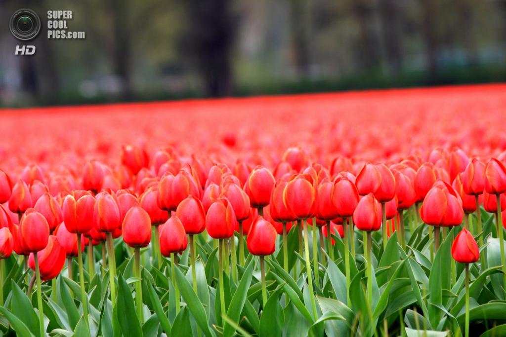 Нидерланды. Лиссе. В королевском парке цветов Кёкенхоф. (Wajahat M. Khan)