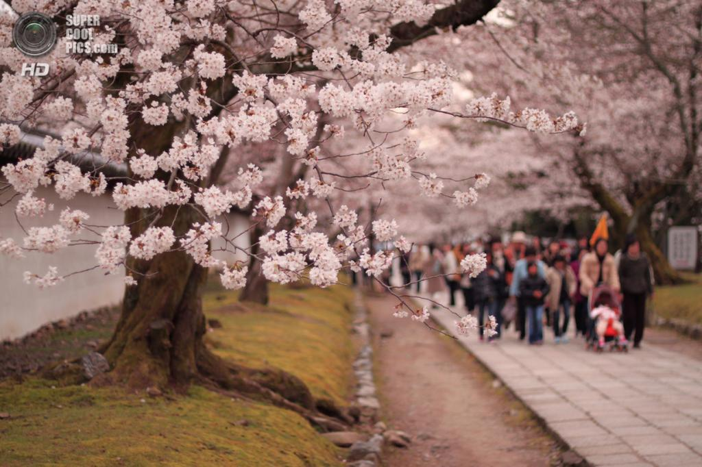 Цветение вишни. (Jacky CW)