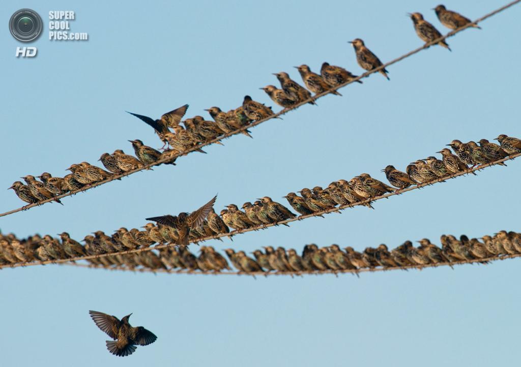 Германия. Лебус, Бранденбург. 6 октября 2011 года. Скворцы на проводах. (Patrick Pleul/AFP/Getty Images)