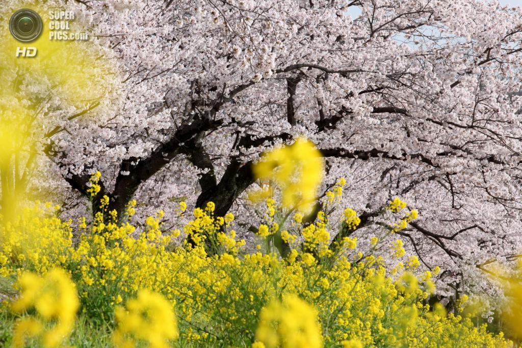 Цветение вишни. (Ken Shimo)